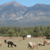 mountain view llama