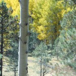 tree aspen