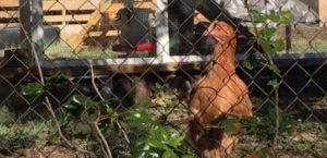 Backyard Chickens: Eggs, Therapy, Stress Relief, Pest Control